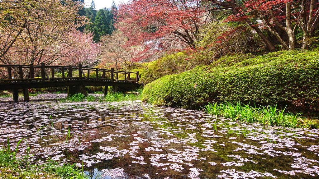 桜の花びらが浮く満願寺