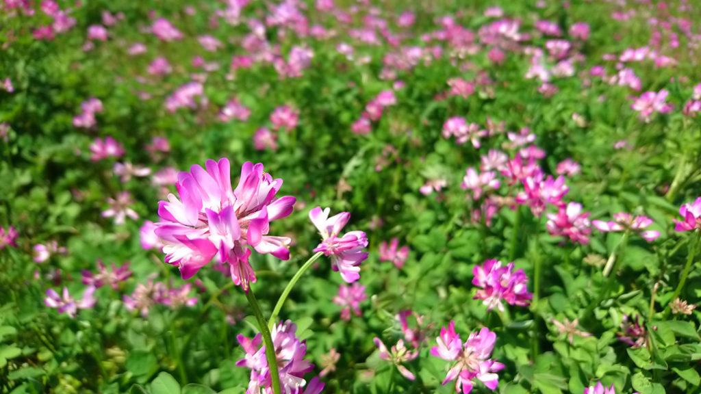 レンゲソウの花