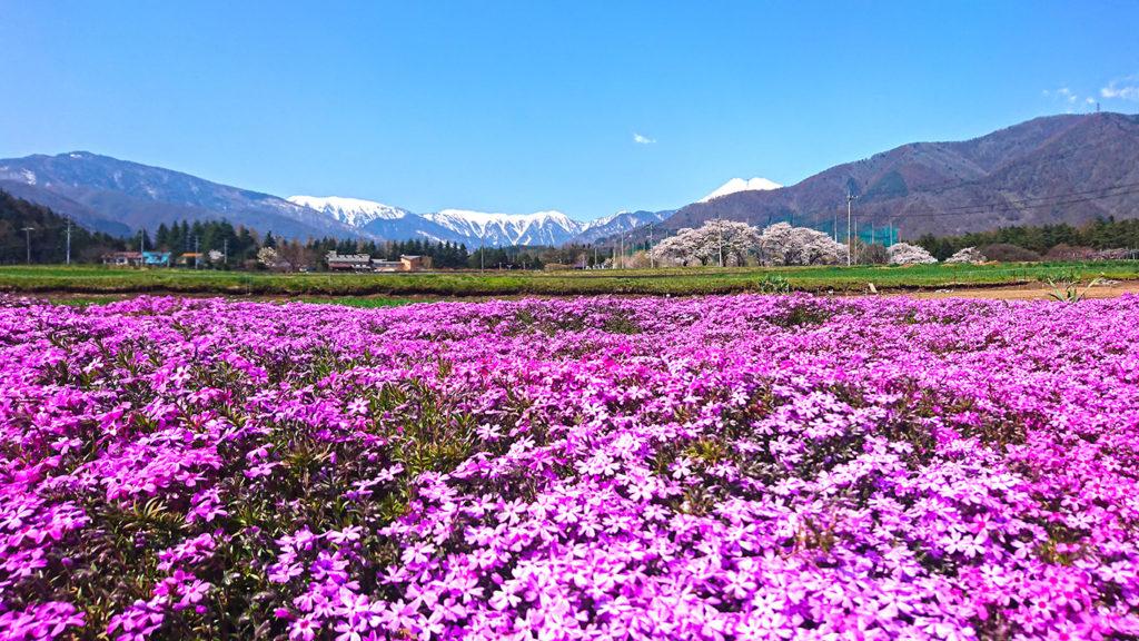 芝桜と桜と蝶ヶ岳