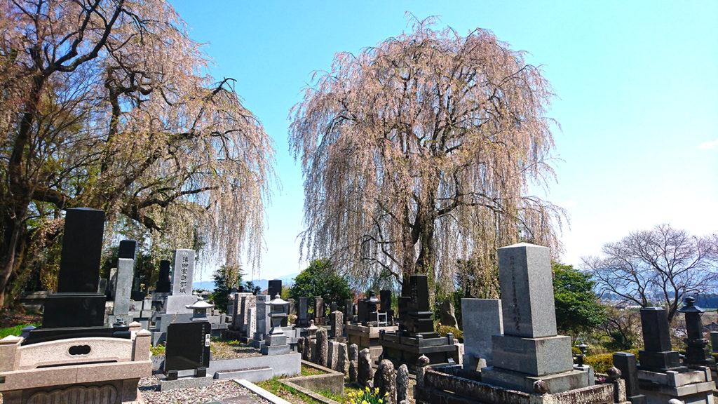 田多井の枝垂桜1