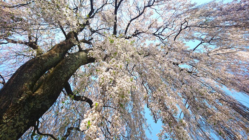 田多井の枝垂桜2