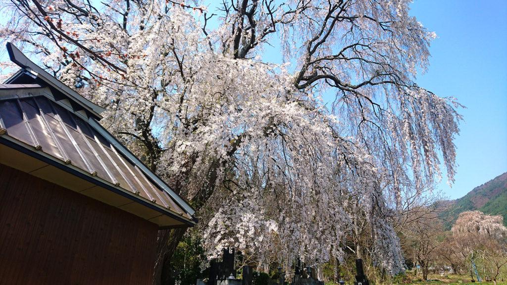 田多井観音堂の枝垂桜1