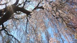 田多井観音堂の枝垂桜2