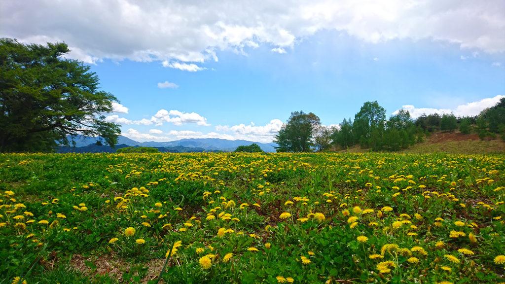 大峰高原のタンポポのお花畑