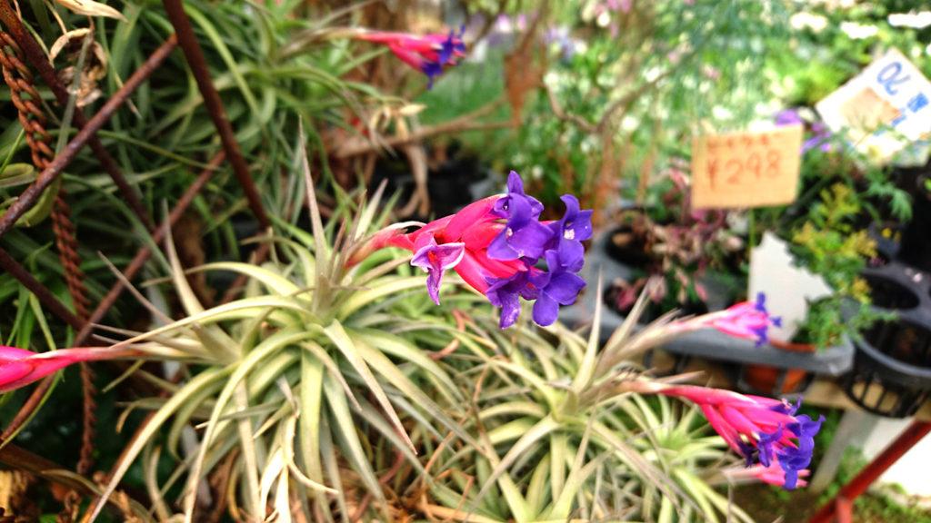 エアプランツの花2