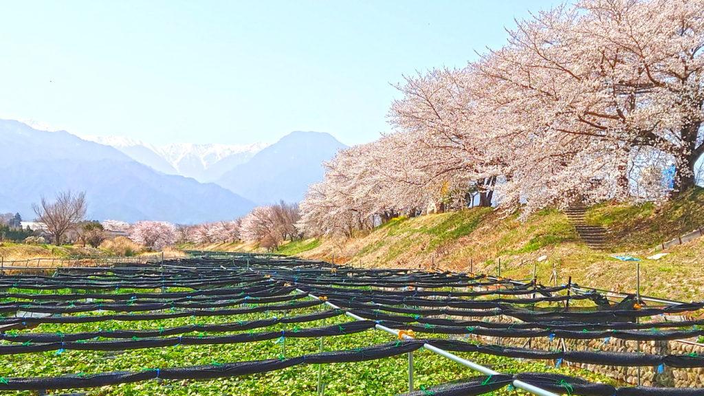 わさび田と桜と有明山