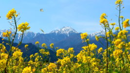 菜の花と蝶と常念岳