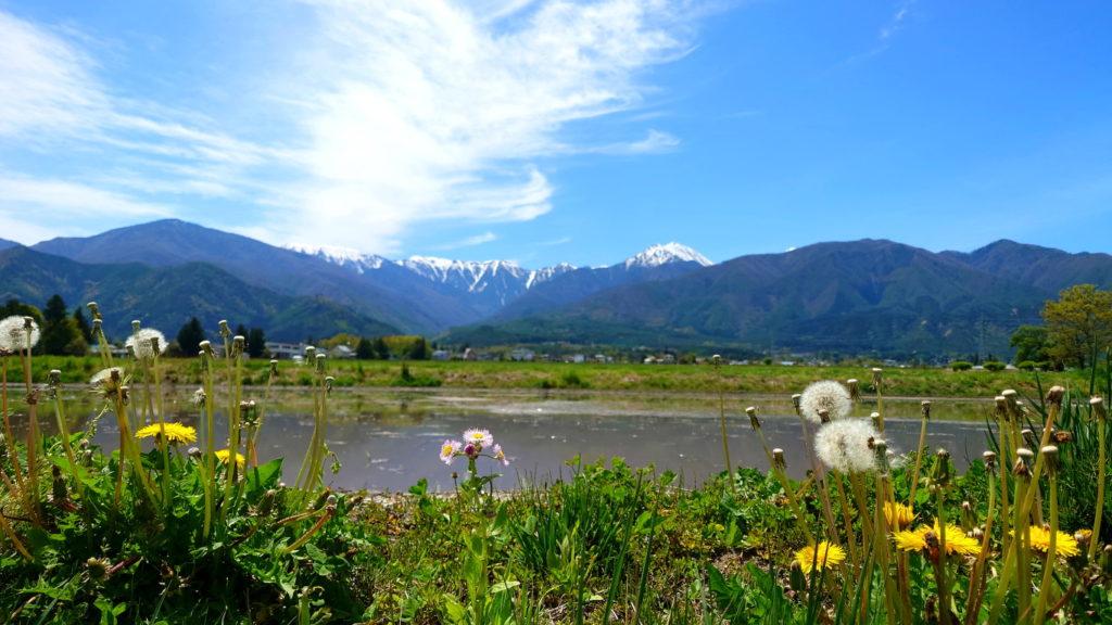 田んぼの畔のタンポポと常念岳