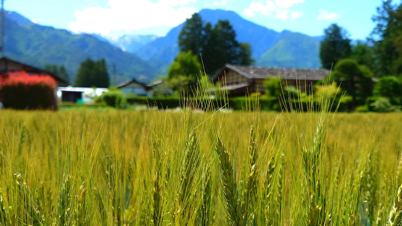 伸びてきた小麦の穂