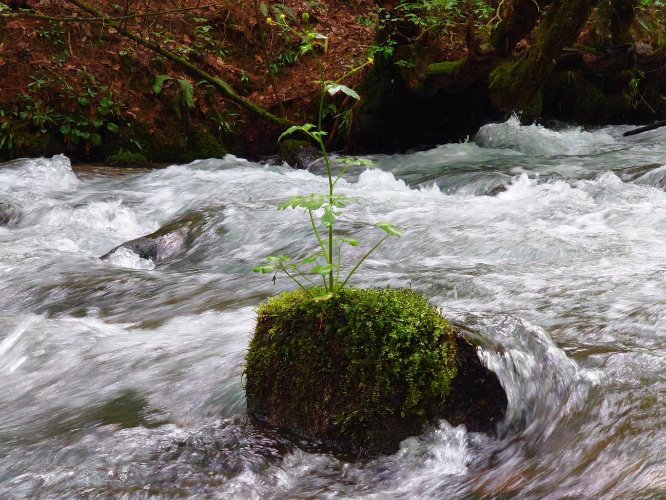急流の石の上で花を咲かせる植物