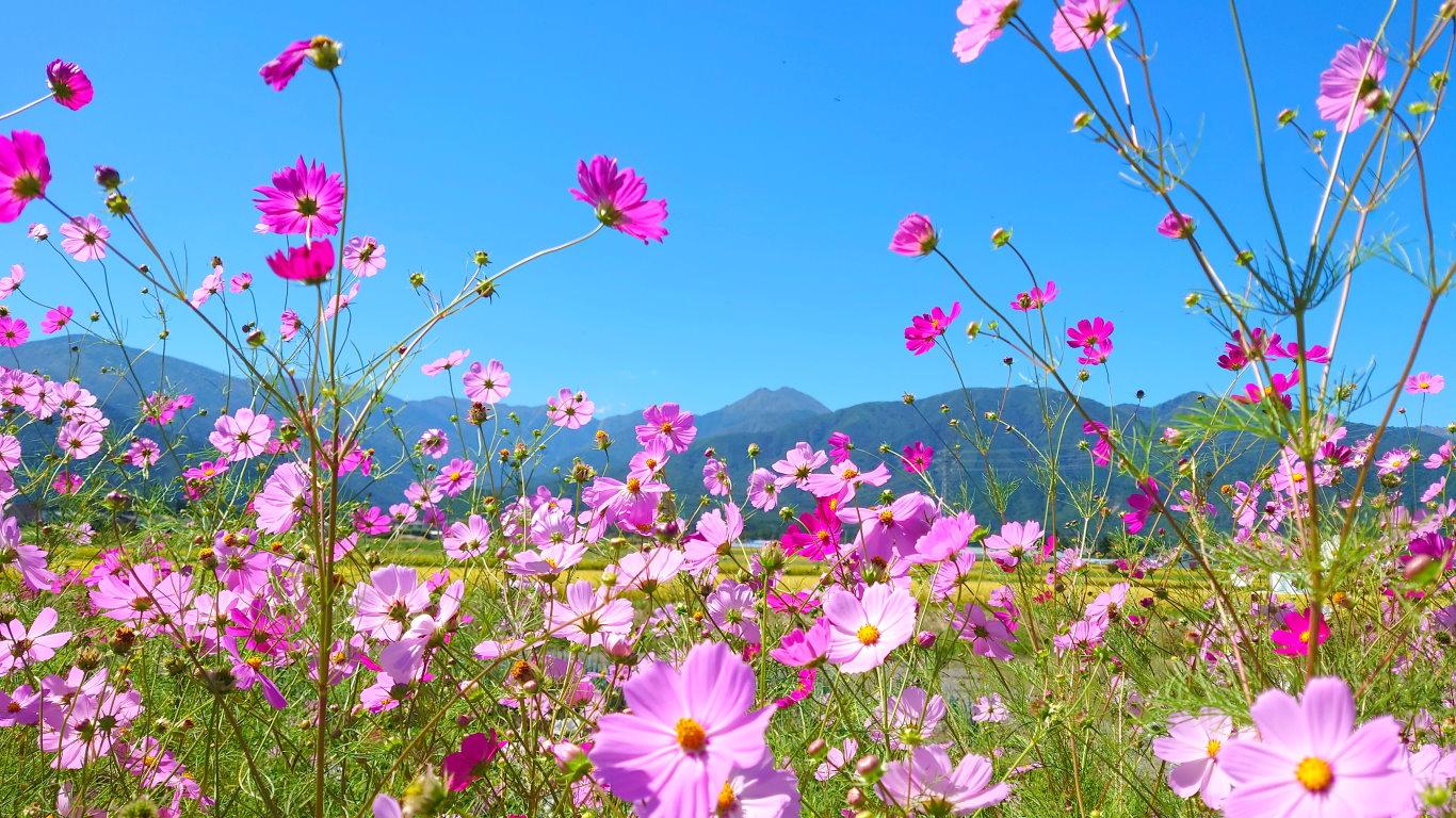 コスモスの花と常念岳