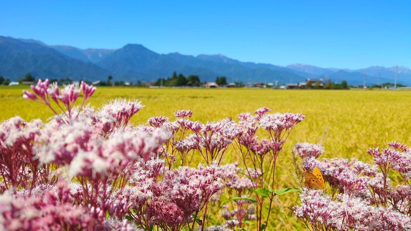 フジバカマの花と有明山