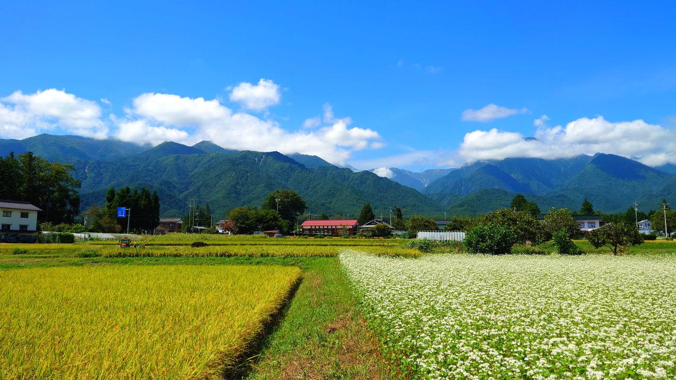 蕎麦の花と色づいた田んぼ