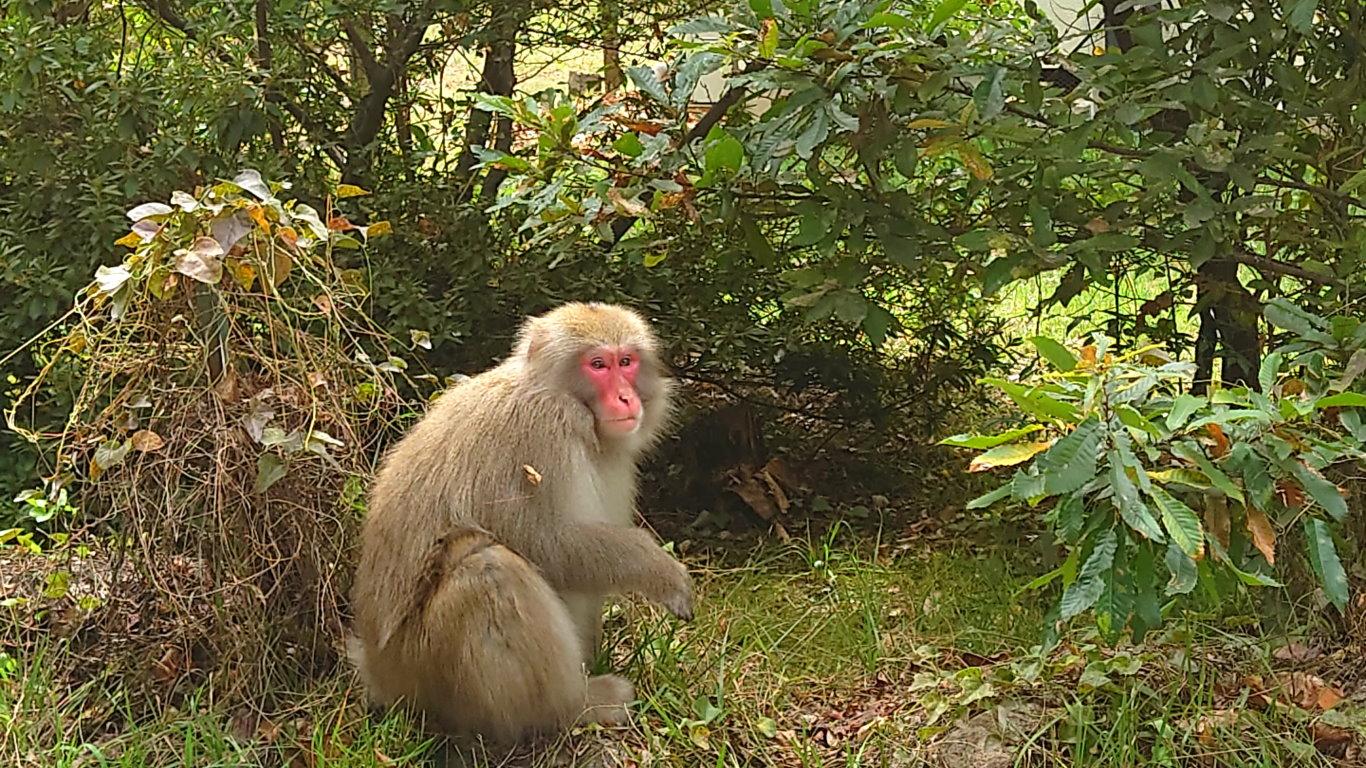 安曇野市穂高の猿2