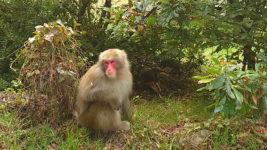 安曇野市穂高の猿1